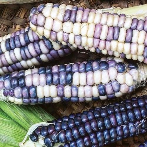 4.彩虹玉米