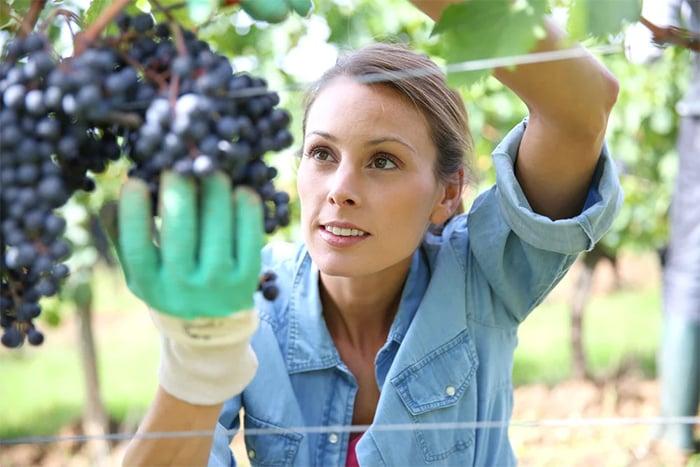 不同顏色葡萄