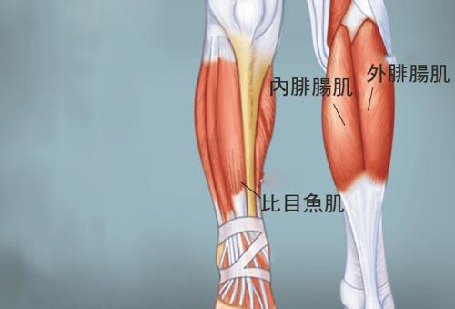小腿並不是一整塊大肌肉,而是由三個肌肉組成的肌群,所以又可以稱為小腿三頭肌(Triceps Surae),分別是:內、外腓腸肌(Gastrocnemius)和比目魚肌(Soleus)。