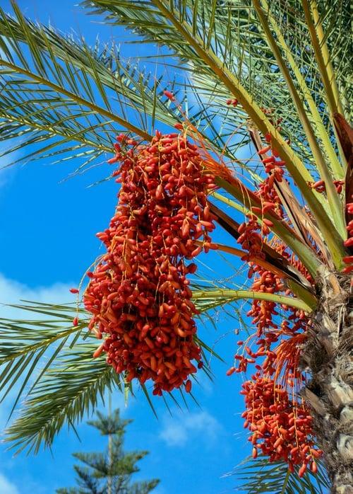 生成椰棗的樹,長得很像椰子樹,成熟的果子形狀又和棗子相似而得名,因為含有大量的醣類、維生素及礦物質,是中東地區和北非國家的主食之一,也可以製糖、釀酒,因此被稱為「沙漠麵包」。