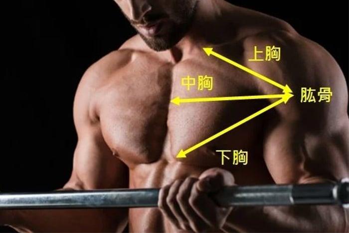 胸肌部位和走向