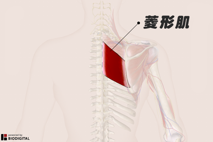 什麼是菱形肌?