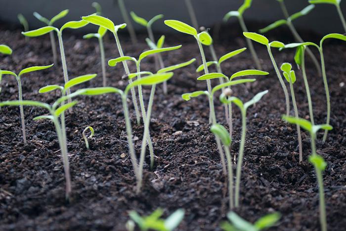 植物性蛋白質食物推薦-豌豆苗
