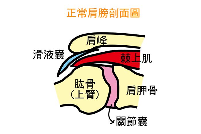 肱骨頭應位於關節盂窩的中央