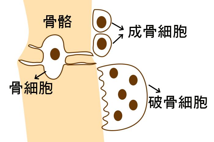 認識骨骼細胞三兄弟
