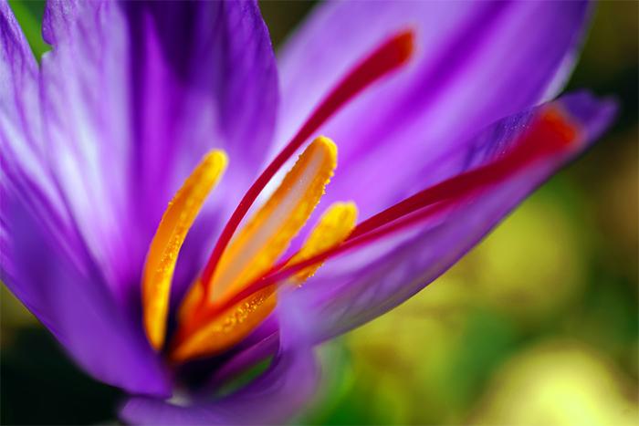 紅花用來入菜的部分其實不是花瓣,而是花朵中的雌蕊