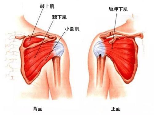 旋轉肌有四條,分別是棘上肌、棘下肌、小圓肌和肩胛下肌,不多說先上圖!