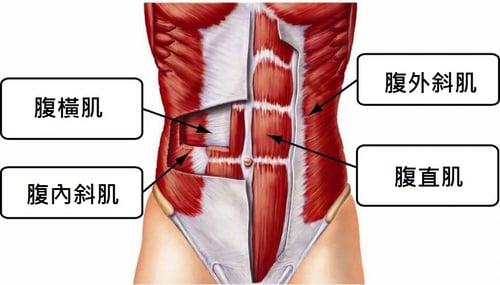 腹肌構造圖