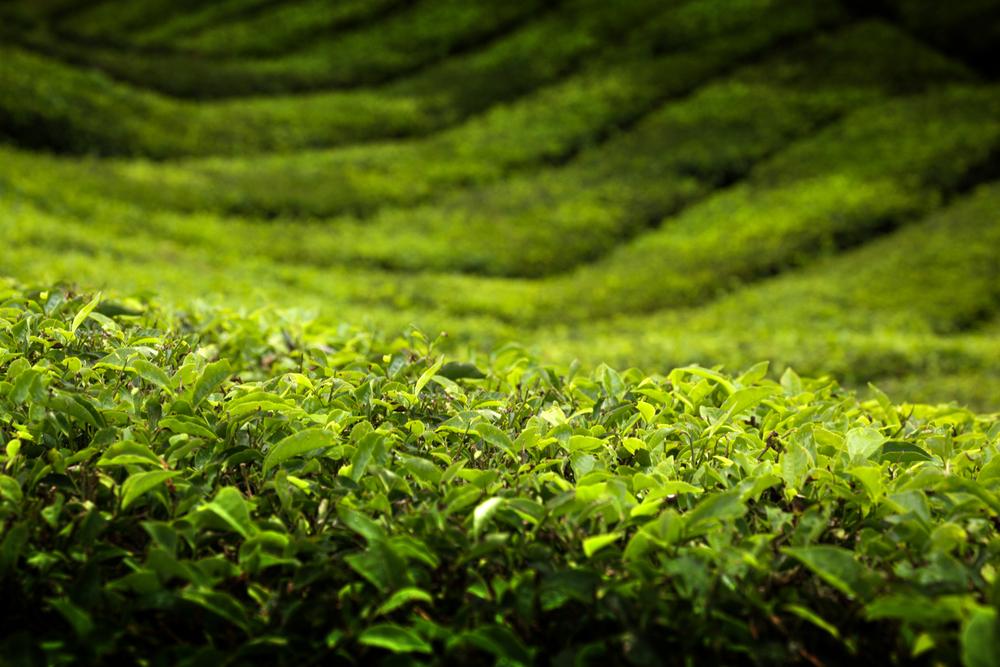 茶樹蒸餾而來的精油,具有抗菌、抗病毒效果、增強免疫系統、味道清新,也被廣泛應用在沐浴乳、保養品上。